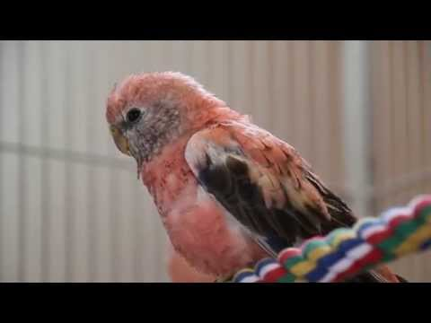 Opaline Rosey Bourke parakeet takes a bath – Bourke's Parakeets are terrific pets