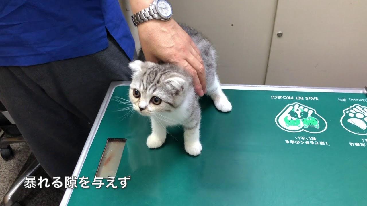 2回目の猫ワクチンを打つの巻[スコティッシュフォールド・ぐう24]/Cats vaccinated at the hospital.