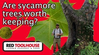 Ep147: Is the sycamore tree worthless to have on the homestead?