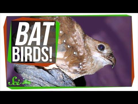 Meet the Oilbird: A Bird that Thinks it's a Bat