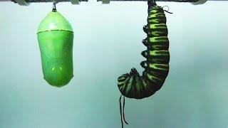 Смотреть онлайн Как гусеница превращается в бабочку