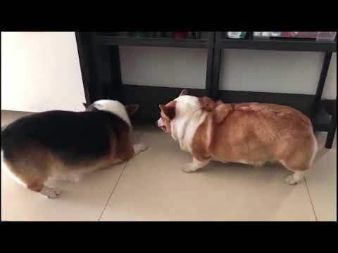 【抖音】 TIK TOK 2018最新動物爆笑狗狗系列視頻合集 萌寵都成精了超級搞笑