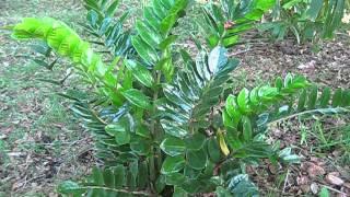 Zamioculcas zamiifolia ZZ Plant