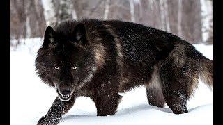 Black Wolf - The Mystery of Dark Wolves (Nat Geo Wild)