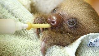 Bottle Feeding A Baby Sloth