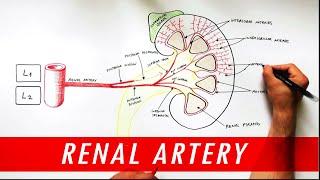 Anatomy tutorial - Renal Artery Branches