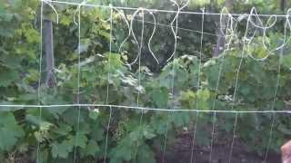 Подвязка огурцов в открытом грунте видео