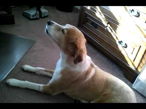 Dog Howling At Ambulance Siren