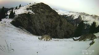 Самку снежных барсов с детенышами засняли в горах близ Алматы