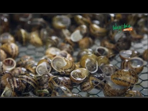 SNAIL FARMING: BOTH MALE AND FEMALE SNAILS LAY OVER 200 EGGS