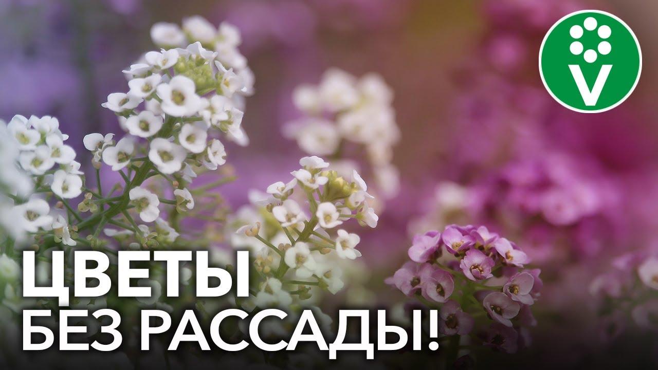 ПОСЕЙТЕ ЭТИ ЦВЕТЫ СРАЗУ В ГРУНТ! Самые красивые и неприхотливые однолетние цветы для сада