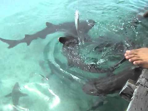 Video liburan bermain dan berenang dengan ikan hiu di pulau karimunjawa tour leader m hilal muharom hp 085