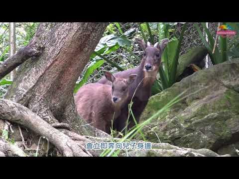 野山羊寶寶四處探索 媽媽不放心緊緊守護