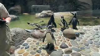 Fort Worth Zoo keeper chat - penguin