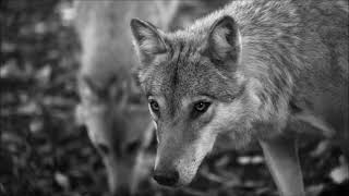 """FRONTIER GUARDS - """"WOLF"""" (album """"YOU"""")"""