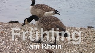 preview picture of video 'Frühling am Rhein, Spring on the Rhine, by Ludwigshafen'