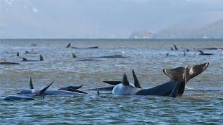470 whales stranded in one Australia's biggest beachings