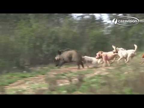 Smečka loveckých psů