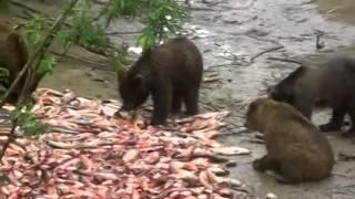 Ловля рыб медведями