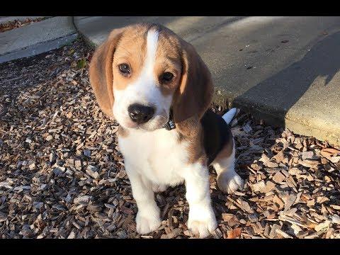 cum să mi fac beagle să piardă în greutate