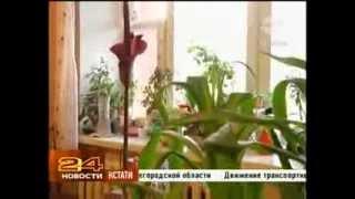 Аморфофаллос - самый вонючий цветок в мире в Нижнем Новгороде