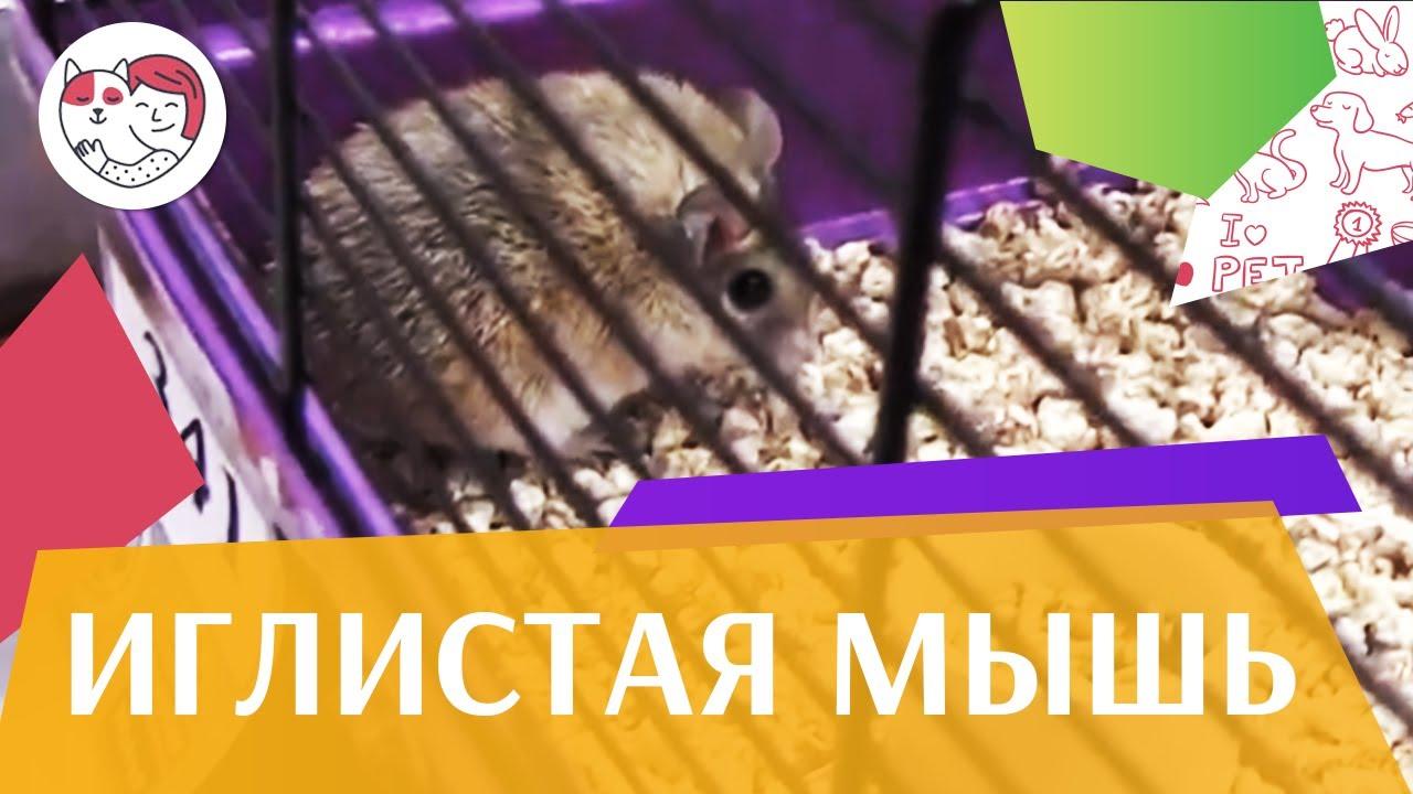 Иглистая мышь поведение на ilikepet