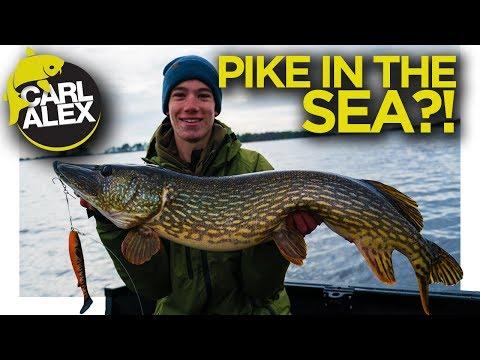 Geddefiskeri i den svenske skærgård