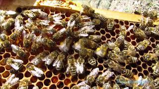 méhek tánca