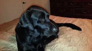 Dog with Idiopathic Head Tremors/ Idiopathic Head Bobbing