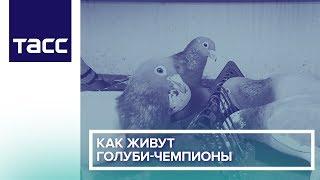 Как живут голуби-чемпионы