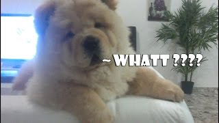 White chow chow puppy out of control amazing