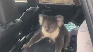 Наглость спасёт от жары: коала попыталась захватить машину австралийца