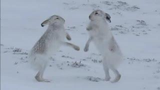 Смотреть онлайн Жестокий бой двух диких зайцев