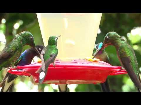 """""""Embajadores por la libertad"""" - El asombroso jardín de colibríes de Mashpi Lodge"""