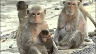 preview picture of video 'Maimuțele comunitare - Lopburi, Tailanda'