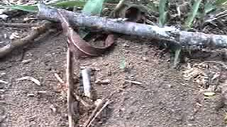 "Forelius ""Cheese"" ant nest entrance and trailing (video by B. Drees)"