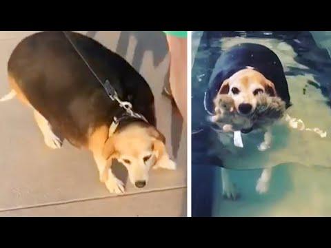 Beagle fogyás