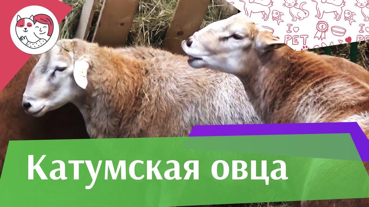 Катумская овца на ilikepet. Особенности породы, уход