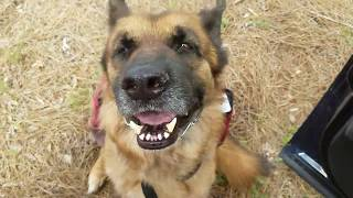 Properly Fitting a Prong Pinch Collar on a German Shepherd