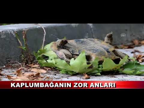 Kaplumbağanın zor anları