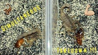Scorpion Feeding Video #11 ~ Simultaneous Takedown !!!