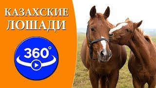 Казахские лошади в степях Казахстана. Видео 360 градусов.