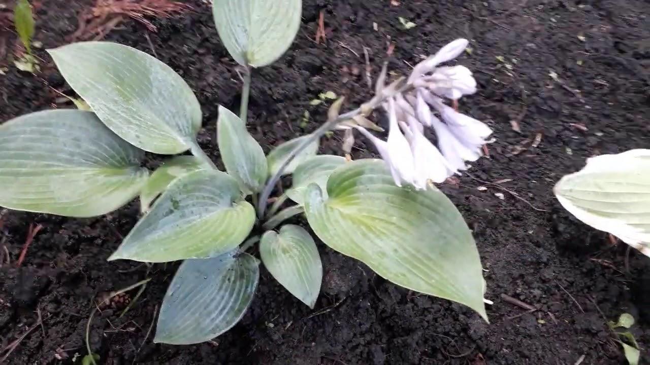 #flowers #halcyon #хостаголубая #халцион /  Цветы голубой хосты Халцион ( лат.hosta Halcyon - M)