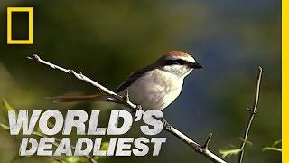Butchering Bird | World's Deadliest