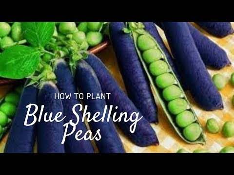 Sowing Blue Shelling Peas