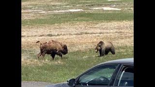 Bear V Bison