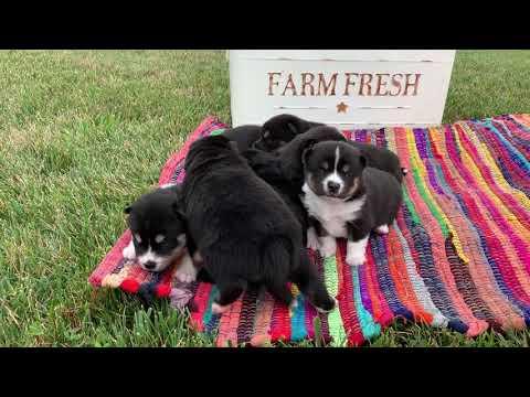 Zoey's Pomsky Puppies --  August 2019
