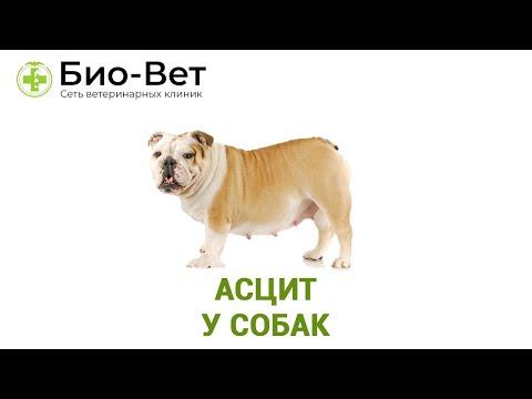Асцит У Собак & Причины Асцита У Собак. Ветклиника Био-Вет
