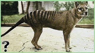 What If The Tasmanian Tiger Didn't Go Extinct?