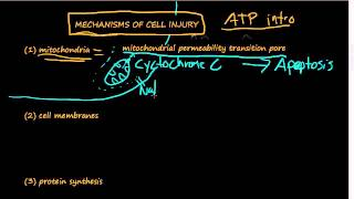 #10 - Cellular mechanisms of cell injury - ATP, Damage to Mitochondria, Influx of Calcium